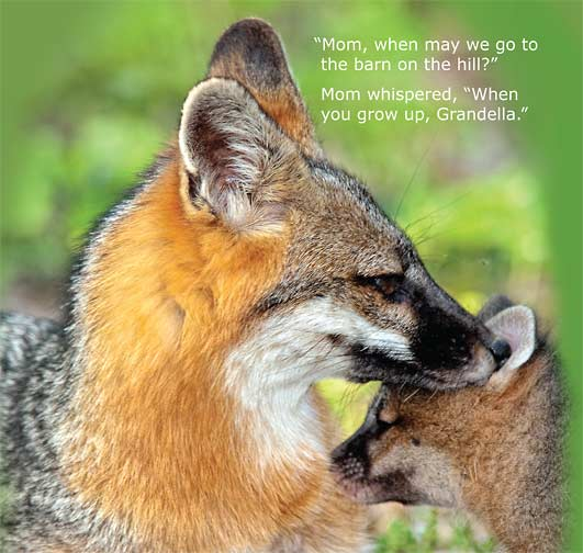 Grandella Gray Fox childrens book